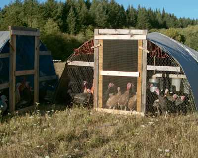 Grass-fed turkeys at Norton Creek Farm, Blodgett Oregon