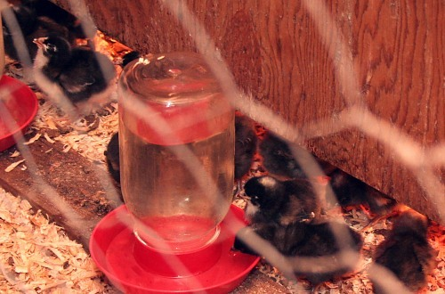 Baby chicks drinking near brooder
