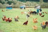 free-range chickens being fed on pasture